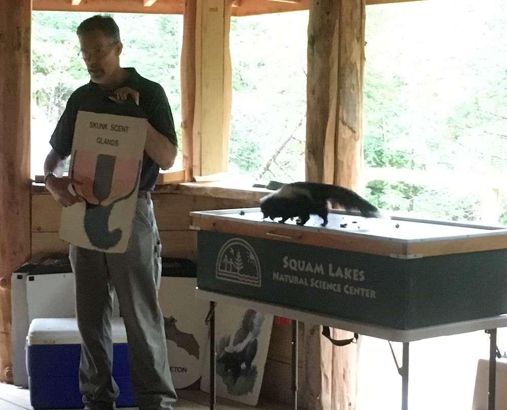 Squam Lakes Natural Science Center Skunk